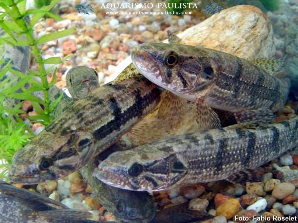 Hoplias-malabaricus