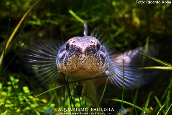 Hoplias-malabaricus3