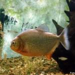 Piranha Vermelha (Pygocentrus nattereri)