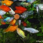 Alimentação de peixes ornamentais, pequeno FAQ