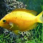 Peixe Mexerica (Etroplus maculatus)