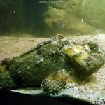 Peixe Pedra (Notesthes robusta)