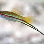 Peixe Espada (Xiphophorus hellerii)