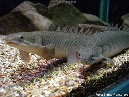 rp_Polypterus-senegalus.jpg