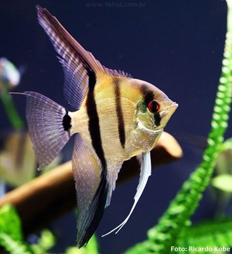 Pterophyllum-scalare