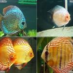 Discos, os reis do aquário