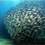 Peixes ficam estressados longe do cardume