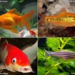 Peixes de água fria para aquário e lago