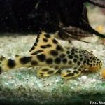 Peixes comedores de algas
