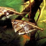 Peixe Borboleta Pintada / Listrada (Carnegiella strigata)