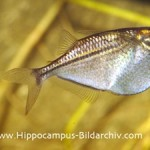 Borboleta Prateada / Prata (Gasteropelecus levis)