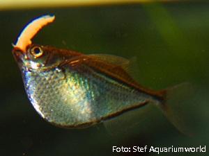 Gasteropelecus levis2
