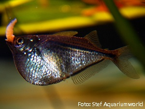 Gasteropelecus levis3