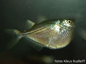 Gasteropelecus sternicla2