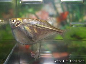 Gasteropelecus sternicla3