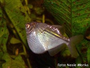 Gasteropelecus sternicla4