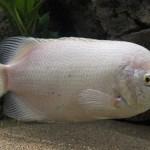 Peixe Beijador (Helostoma temminkii)