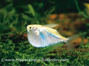 Thoracocharax stellatus2