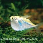 Peixe Borboleta Papuda (Thoracocharax stellatus)