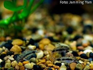 Corydoras habrosus3