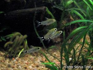 Corydoras hastatus4