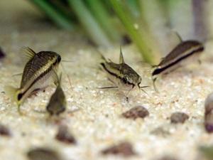 Corydoras pygmaeus7