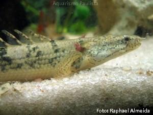 Polypterus delhezi2