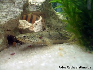 Polypterus delhezi3