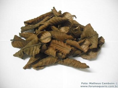 Como exemplo usaremos folhas de Goiabeira, que podem demorar até 2 meses para começar a se decompor.