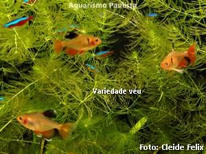 Hyphessobrycon eques5