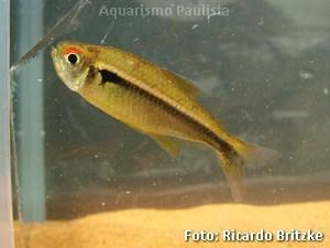 Hyphessobrycon hebertaxeroldi2