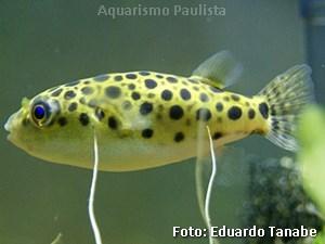 Tetraodon nigroviridis6