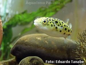 Tetraodon nigroviridis7