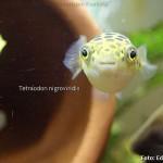 Os simpáticos baiacus (puffers) de água doce