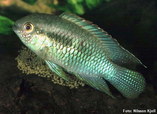 Laetacara-curviceps2