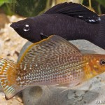 Molinésia Latipina (Poecilia latipinna)