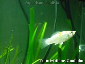 Poecilia sphenops2
