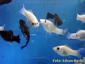 Poecilia sphenops4