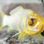 Conheça Splash, o peixinho dourado britânico que acaba de fazer 38 anos