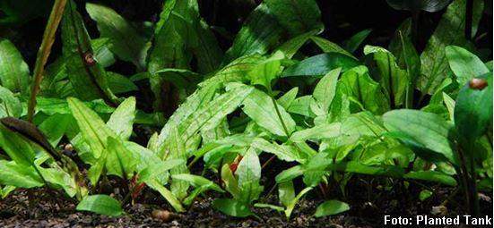 Cryptocoryne-wendtti-Green-Gecko