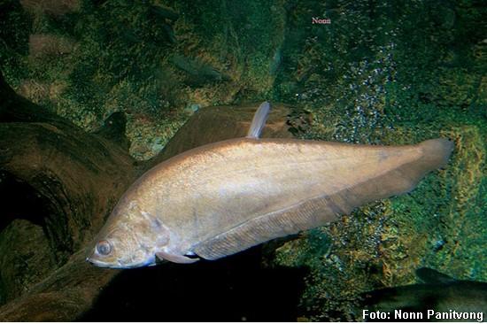 Notopterus-notopterus