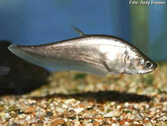 Notopterus-notopterus2