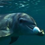 Golfinhos usam toxina de baiacu para se drogar, aponta estudo