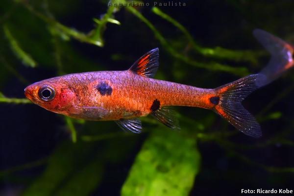 Boraras-maculatus