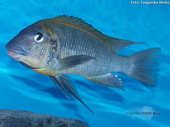 "Petrochromis polyodon ""mtoto"""