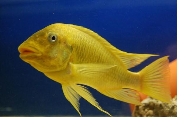Petrochromis-sp-Moshi-yellow