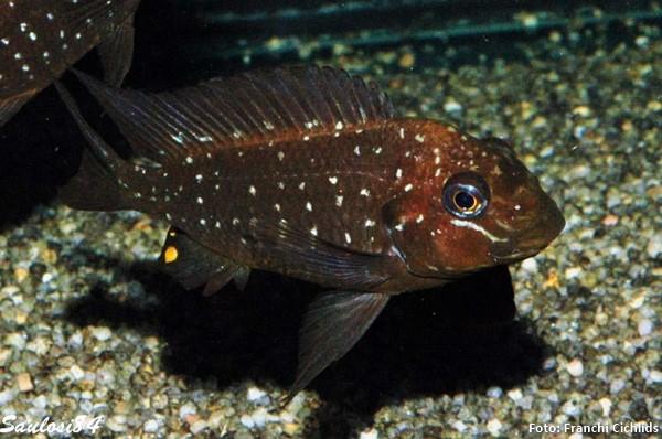 Petrochromis-trewavasae