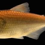 Nova espécie de peixe é encontrada na Flona Tapajós