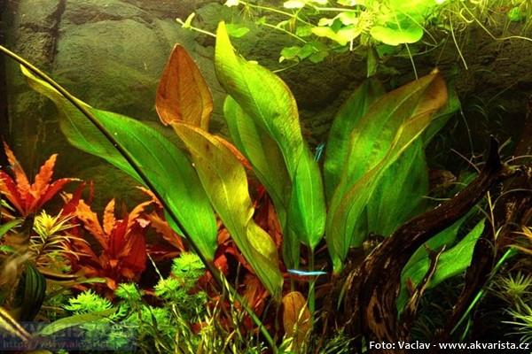 Echinodorus -frans-Stoffels