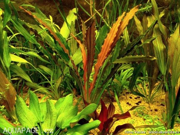 Echinodorus-horemanii